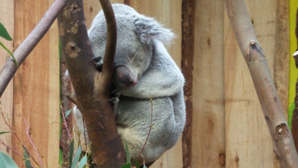Koala bear in Edinburgh Zoo