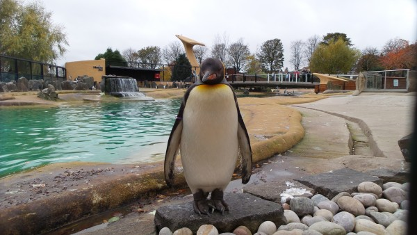 Pinguin at the Edinburgh Zoo