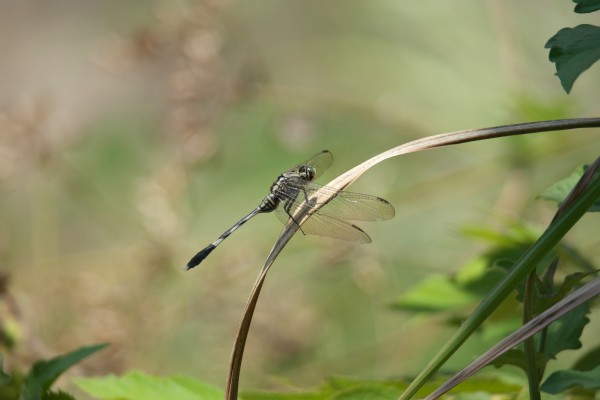 Dragonfly in Borneo