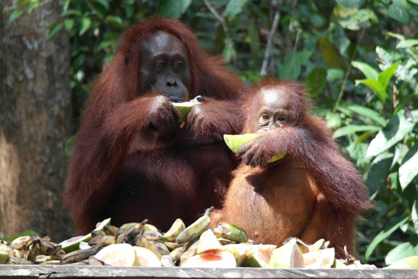 Orang Utan family eating